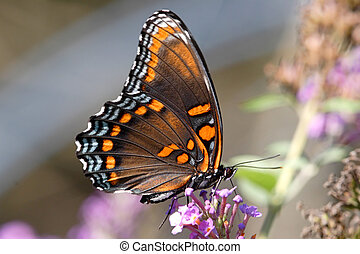 Red-spotted Purple Butterfly (Limenitis arthemis) on a...