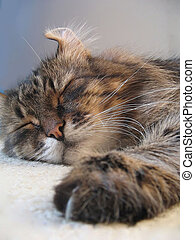 Sleeping cat - Sleeping siberian cat