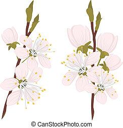 Sakura on the white background