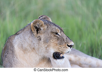 A Lioness resting - A lioness resting in the sun after...