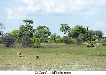 Inexperienced lioness stalking - Inexperienced lioness...