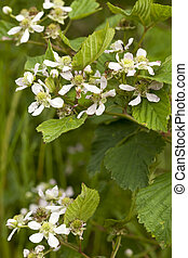 blackberry bush with white flower as background