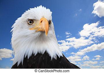 Bald eagle (Haliaeetus leucocephalus) against a blue sky,...