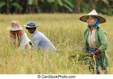 farmer harvesting rice - Burmese farmer harvesting rice in...