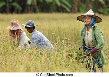 farmer harvesting rice - Burmese farmer harvesting rice in...