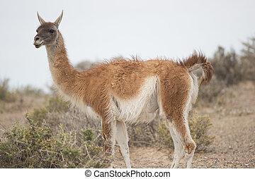 guanaco munching - young guanaco munching in punta tombo