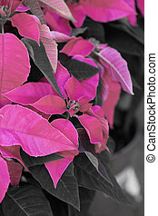 Pink Poinsettia with green leaves - christmas flower ( HDR...