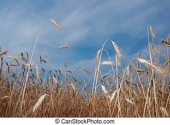 Deep blue sky over yellow wheat field