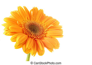 Flower Gerber Isolation on white