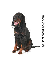 Gordon Setter - Sitting Gordon Setter dog in the studio