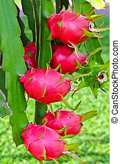 dragon fruit in garden