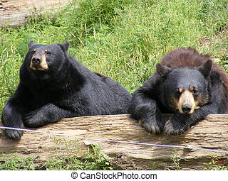 black bears in sun