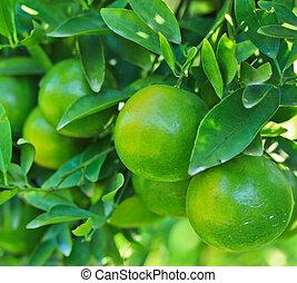 oranges Garden