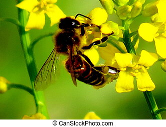 The bee collects nectar on a yellow flower...