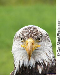 bald eagle Haliaeetus leucocephalus - facial view of...