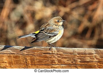 Yellow-rumped Warbler (Dendroica coronata) perched on a...