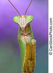 Praying Mantis - Close-up of a Praying Mantis hunting in a...
