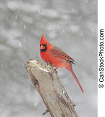 Northern Cardinal In Snow - Male Northern Cardinal...