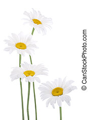 daisy - Studio Shot of White Colored Daisy Flowers Isolated...