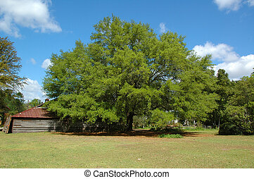 A giant Live Oak Tree Gen; Quercus - Growing here in...