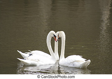 Three mute swan on the lake. - Three mute swan dancing on...