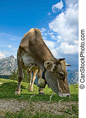 Grazing Cow in the Alps - Grazing Cow in the austrian Alps