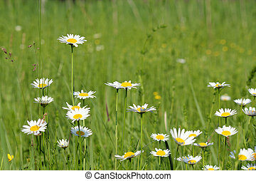 meadow with white wild flowers spring scene