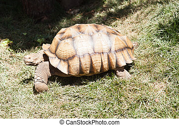 Desert tortoises are species of tortoise native to the...