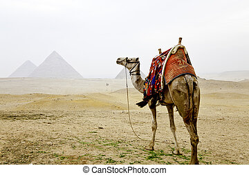 camel and the pyramids of giza, egypt