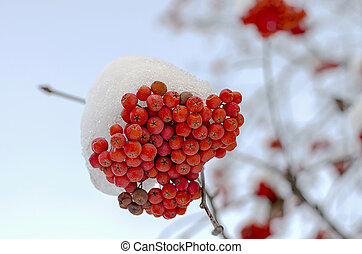 Rowanberry under the snow - A sheaf of rowanberry on a...