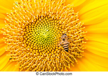 Close Up of Sunflower with bee