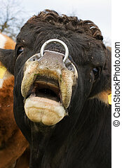 Bull with Nosering
