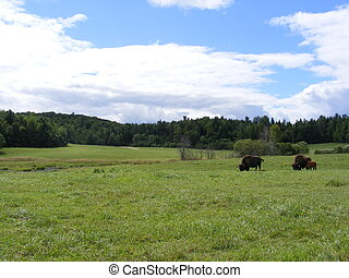 buffalo grazing - bison grazing grass