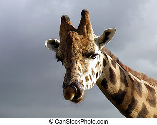 Can You do This - Giraffe Giraffa camelopardalis