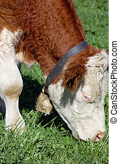 Grazing Simmental Cow with cow bell