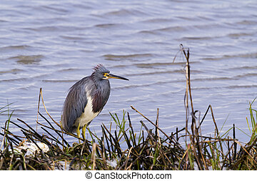 Tri colored heron in natural habitat on South Padre Island,...
