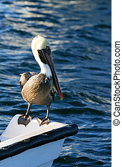 Pelican Hitchhiker - This pelican is hitching a ride on the...