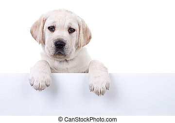 Isolated Puppy Above Banner - 6 weeks old Labrador retriever...