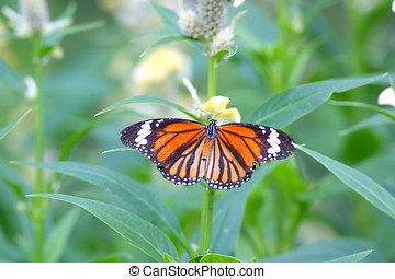 Common Tiger Butterfly Danaus genutia