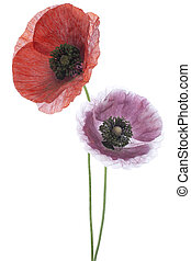 poppy - Studio Shot of Red and Magenta Colored Poppy Flowers...