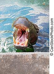 Hippopotamus - Small hippopotamus swimming in the water, and...