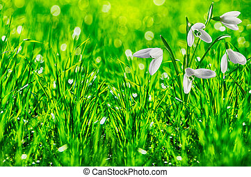 galanthus snowdrops on green background