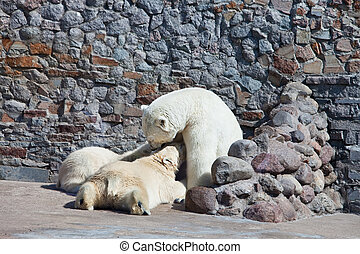 The white she-bear feeds newborn bear cubs with milk