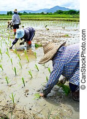 farmer working planting rice in farme of Thailand sountheast...