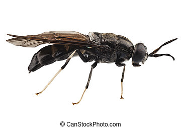 black soldier fly species Hermetia illucens in high...