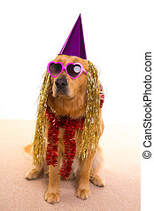 Dog party dressed purple hat and glasses - Dog party dressed...
