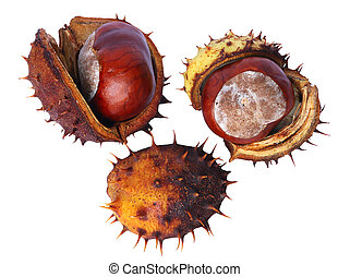 chestnut - Bronze chestnut on white background in...