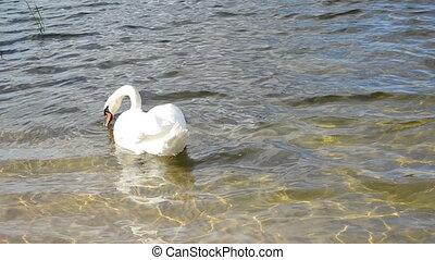 swan bird look food