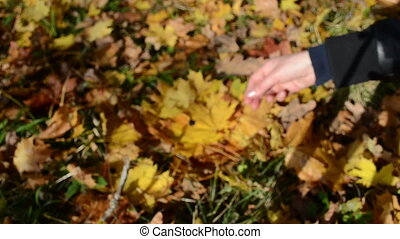 hand pick show maple leaf - hand pick autumn maple tree leaf...