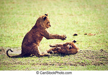Small lion cubs playing. Tanzania, Africa - Small lion cubs...